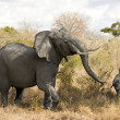Elephant charging - Foto Stock
