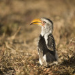 Southern Yellow-billed Hornbill - Tockus leucomelas - Stock Photo