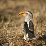 Southern Yellow-billed Hornbill - Tockus leucomelas — Stock Photo
