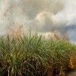 Sugarcane field - Stockfoto