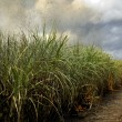 Sugarcane field - Foto de Stock  