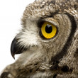 Stock Photo: Spotted Eagle-owl - Bubo africanus (8 months)