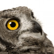 Spotted Eagle-owl - Bubo africanus (8 months) - Stock Photo