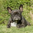Stock Photo: French Bulldog ()