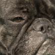 French Bulldog — Foto Stock