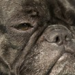 French Bulldog — Stock fotografie