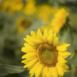 Sunflowers — Stock Photo #10875548