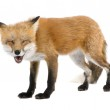 Red fox turned off by something (4 years)- Vulpes vulpes — Stock Photo