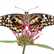 Stock Photo: Papilio demoleus butterfly