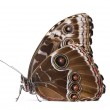 Morpho peleides butterfly — Stock Photo
