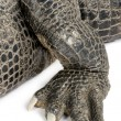 American Alligator (30 years) - Alligator mississippiensis - Stock Photo