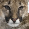 Puma cub - Puma concolor (3,5 months) — Stock Photo