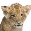 Lion Cub (7 weeks) in front of a white background — Stock Photo