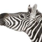 Zebra (4 years) — Stock Photo