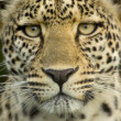 Leopard in the serengeti national reserve — Photo