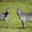 Stock Photo: Two zebras in Serengeti