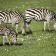 Stock Photo: Zebras in Serengeti
