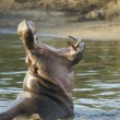 Hippopotamus — Stock Photo #10876403