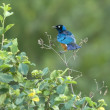 Superb starling - Lamprotornis superbus in the Serengeti — Stock Photo