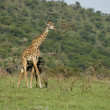 Stock Photo: Girafe in Serengeti