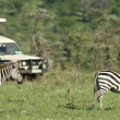 Zebras passing in front of 4X4 — Stock Photo