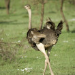 Stock Photo: Ostrich in serengeti