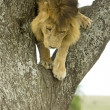 Lion going down tree — Stock Photo #10876441