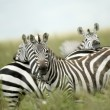 Stock Photo: Zebras looking at camerin serengeti