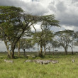 Stock Photo: Herd of zebrin serengeti plain