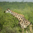 Girafe eating in the serengeti reserve — Stock Photo
