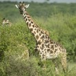 Stock Photo: Girafe eating in serengeti reserve
