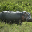 Hippopotamus in the serengeti reserve — Stock Photo