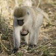 Monkey — Stock Photo #10876558