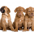 Dogue de Bordeaux puppy (2 months) — Stock Photo #10876935