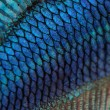 Close-up on a fish skin - blue Siamese fighting fish — Stock Photo #10877423