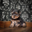 Puppuy yorkshire terrier in a retro room — Stock Photo