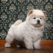Young Chow-chow in a retro room — Stock Photo #10878109