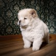 Stock Photo: Puppy Chow-chow in retro room