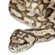 Carpet python - Morelia spilota variegata — Stock Photo