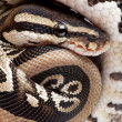 Close up on a Young Python regius (10 months old) — Stock Photo