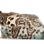 ������, ������: Amazon Milk Frog Trachycephalus resinifictrix