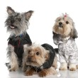 Group of three Yorkshire Terrier (2 years old and 8 months) — Stock Photo