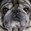 Close-up on a pug (8 years) - Stock Photo