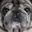 Stock Photo: Close-up on pug (8 years)