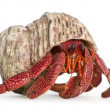Hermit crab - Coenobita perlatus - Stock Photo