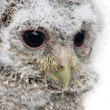 Close-up of an owlet's head - Athene noctua (4 weeks old) — Stock Photo