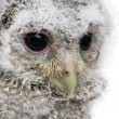 Stock Photo: Close-up of owlet's head - Athene noctu(4 weeks old)