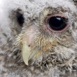 Close-up of an owlet's head - Athene noctua (4 weeks old) — Stock Photo #10879185