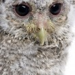Stock Photo: Close-up of Baby Little Owl, 4 weeks old, Athene noctua, in fron