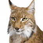 Close-up of a Eurasian Lynx's head - Lynx lynx (5 years old) — Stock Photo #10879252